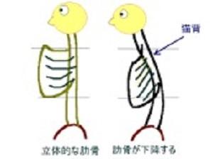 肋骨1.jpg
