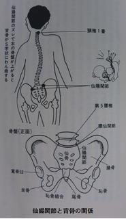 仙腸関節と背骨.png