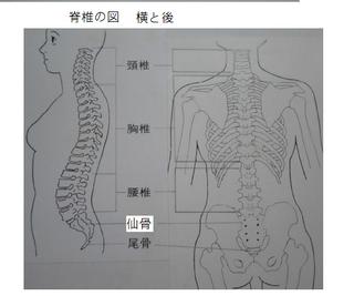背骨の図.png
