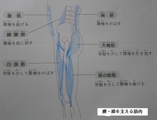 腰・膝を支える筋肉.jpg