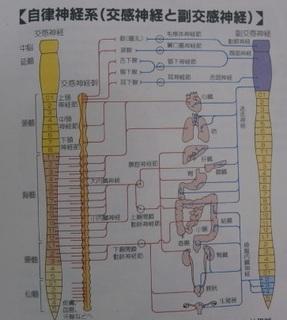 自律神経1.jpg